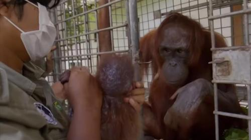 Orangutan Mom Is Finally Reunited With Her Kidnapped Child And Her Reaction Has Us Crying