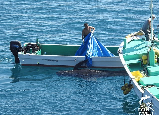 """terrified dolphin family swim together """"for comfort"""" before hunters close in to slaughter them"""