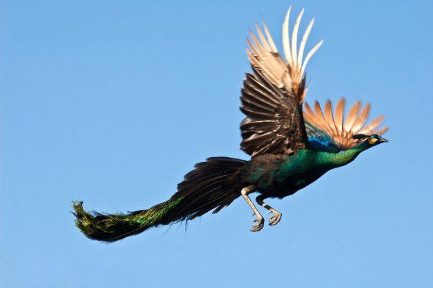 how peacocks look in mid-flight (15 pics)