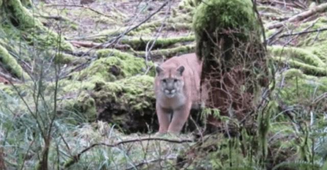 man films cougar stalking him through the woods