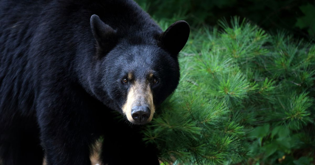 bear breaks into cabin, steals peanut butter cups, m&ms, sour patch kids, beer