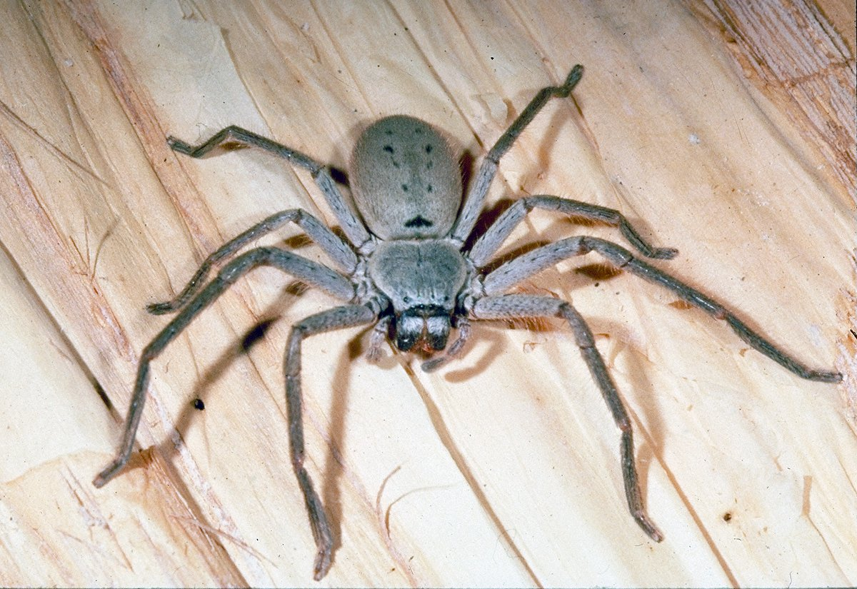 woman's desperate plea for help with a gigantic eight-legged roommate