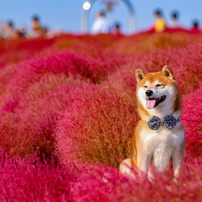 this shiba inu is the cutest flower boi in japan, and his photos are taking instagram by storm (19 pics)