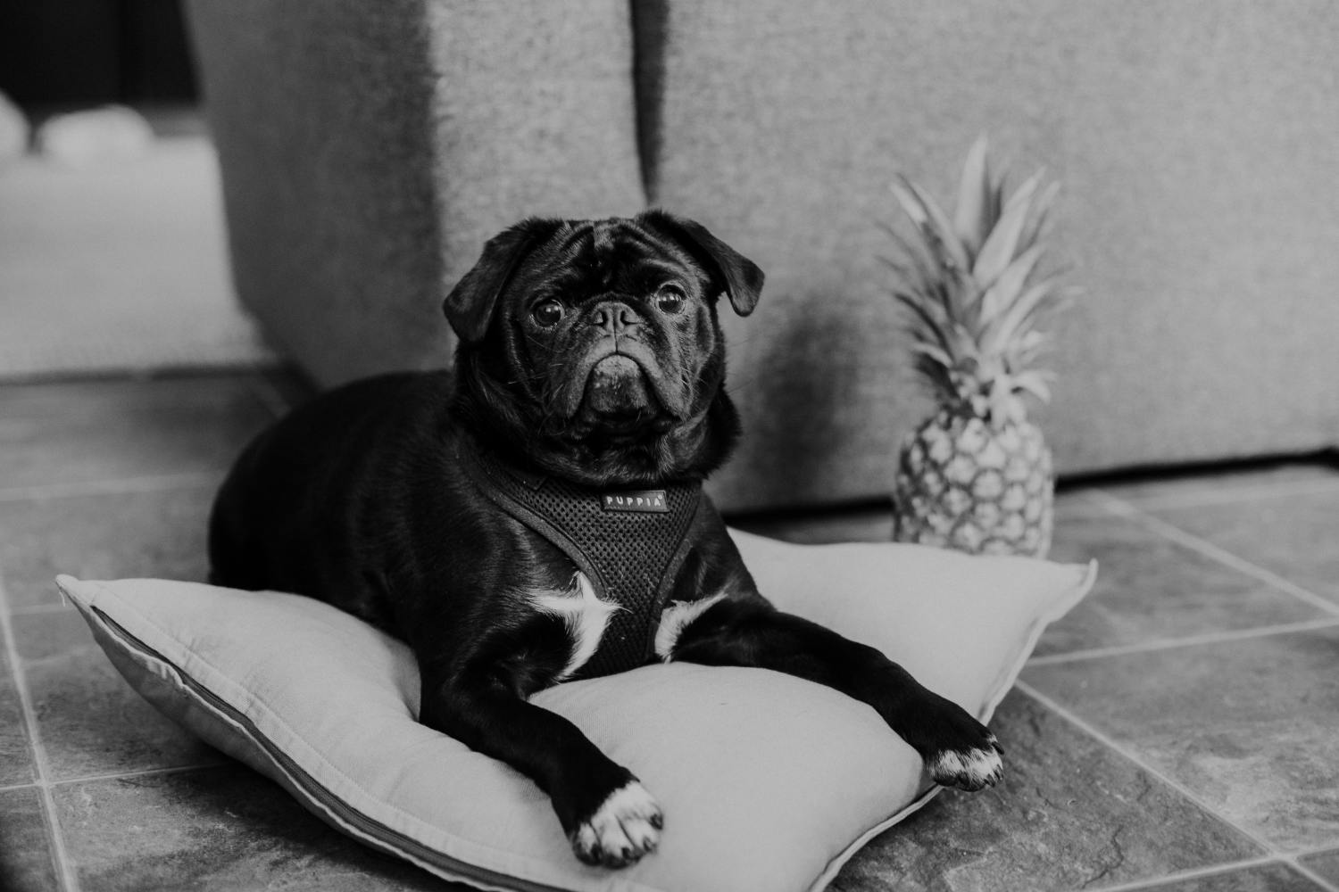 can dogs have pineapple? yes, but you need to know the do's and don'ts