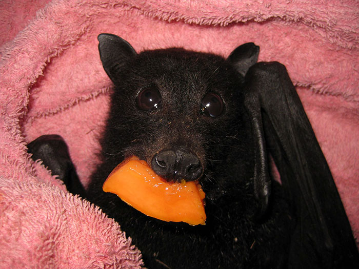 rescued baby bat stuffs her cheeks with banana after being hit by car, and this video will make your day