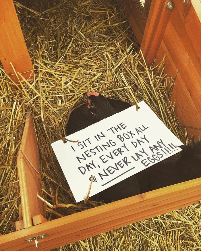 """Farmers Are Shaming Their Chickens For Their """"crimes,"""" And It's Too Entertaining To Read"""