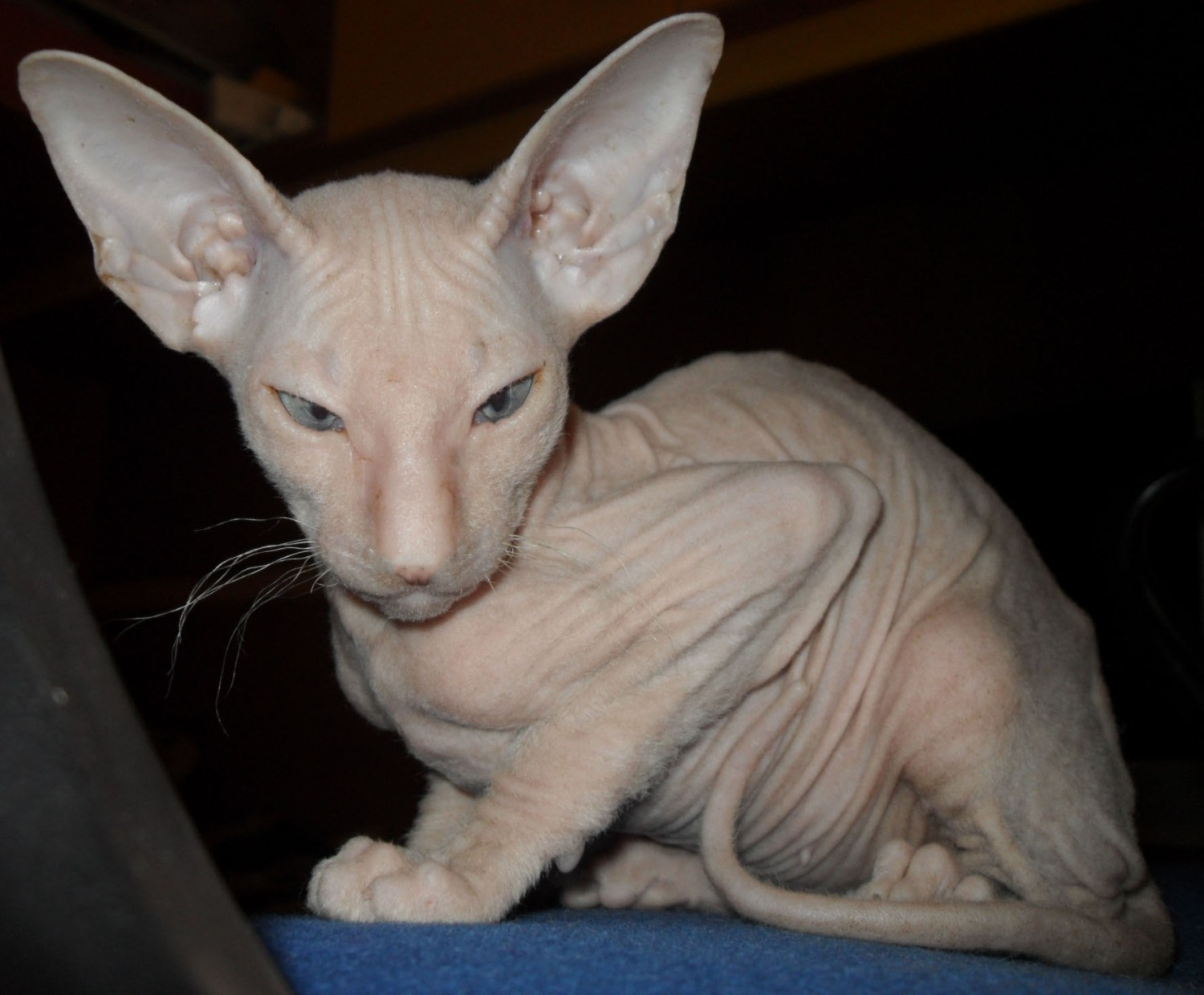 The Ugliest Cats In The World – Here Are The 6 Weirdest-looking Cat Breeds