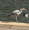 heron walks