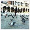 Pigeons in the square