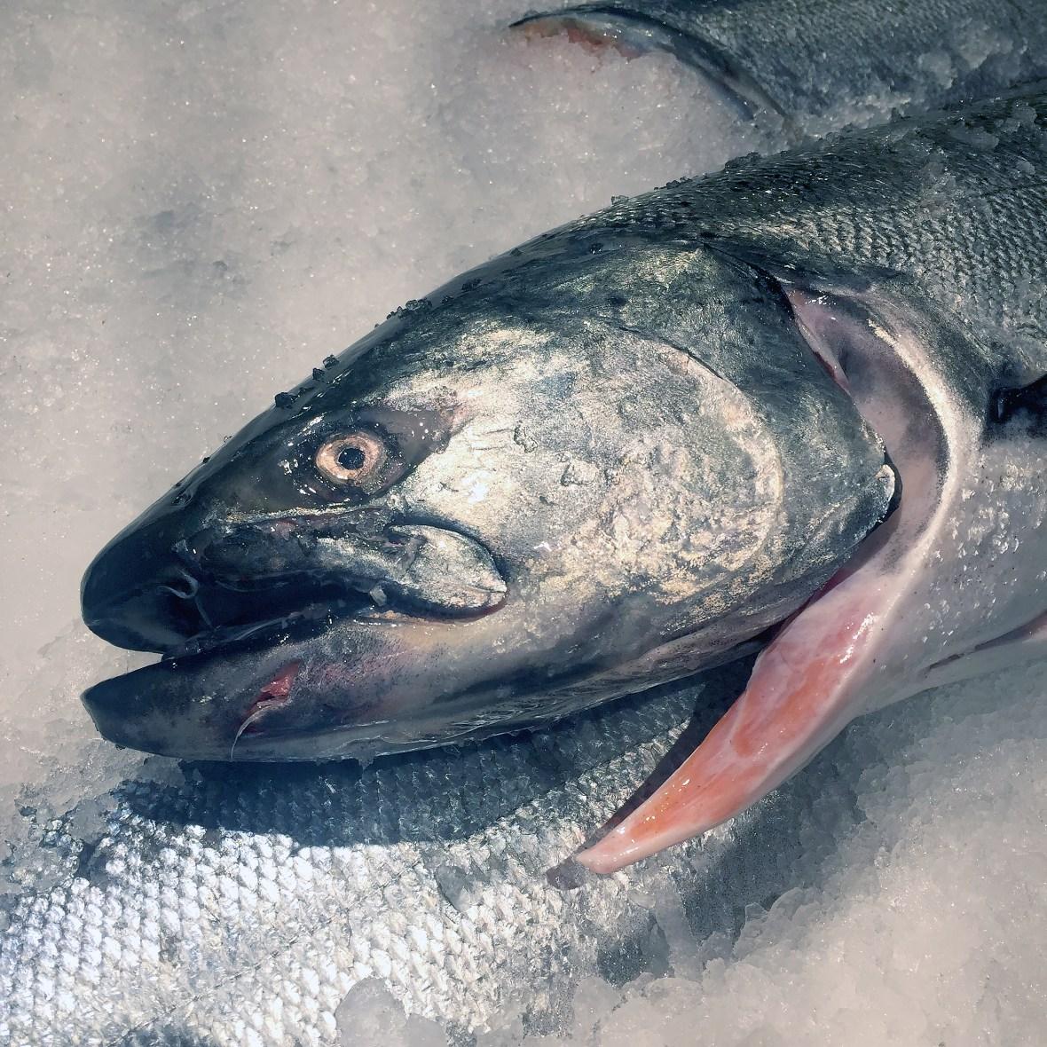 salmon_2814
