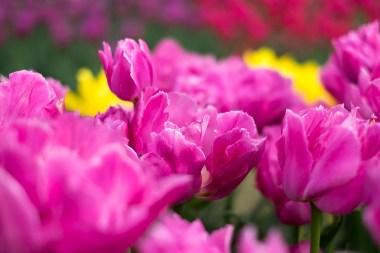 tulip_DSCF2175