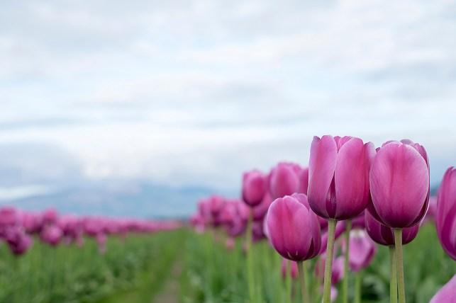 tulip_DSCF2184