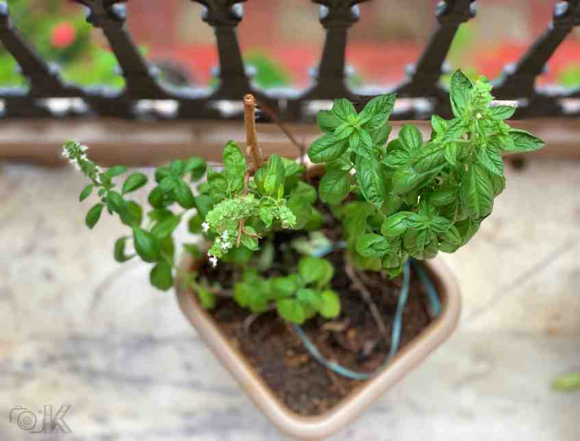 Italian Basil (herb) in a pot.
