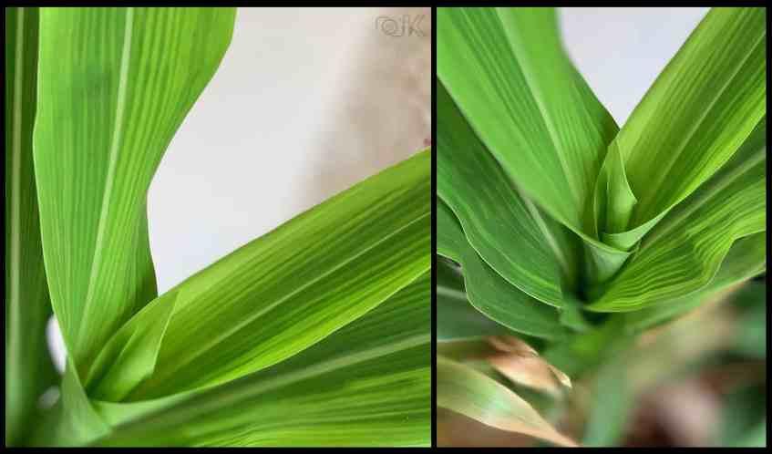 Baby corn stalks.