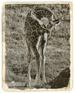 baby_giraffe_sm_sepia