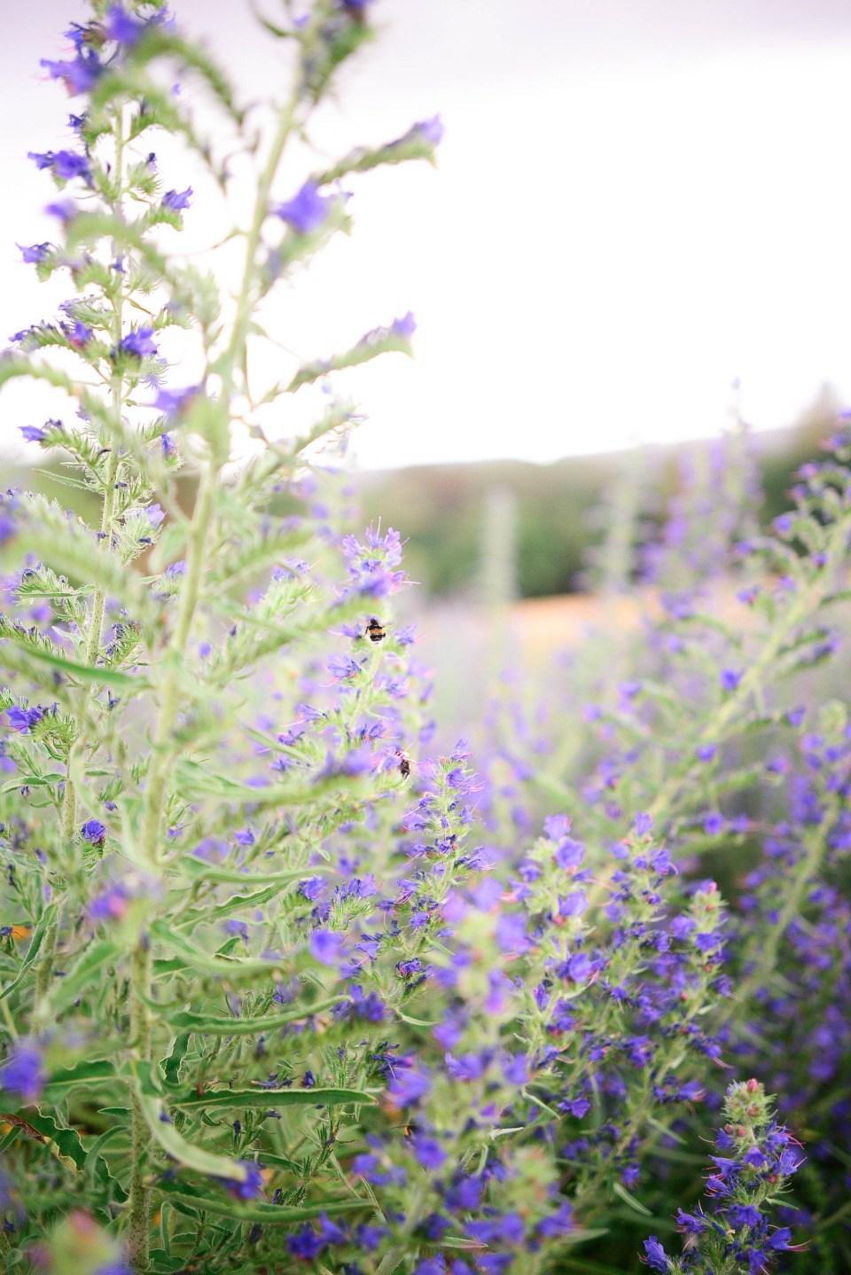 Lavender Plants in La Gacilly