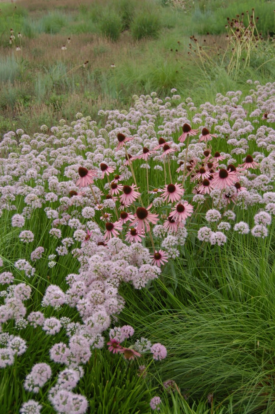 Perennials for your Cutting Garden - Echinacea