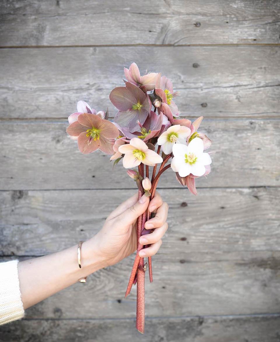Perennials for your Cutting Garden - Hellebore