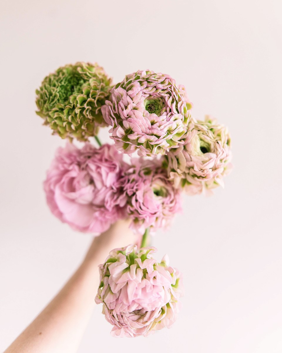 Frilly Ranunculus - the best pink Flowers