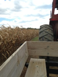 """Although this corn was dead (obviously we were long past the """"knee high by the forth of July"""" period), but it was still a nice sight."""