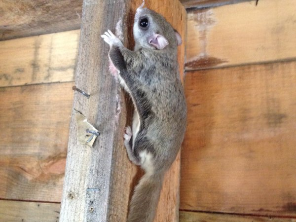 OMG! Flying Squirrels! Squeee!
