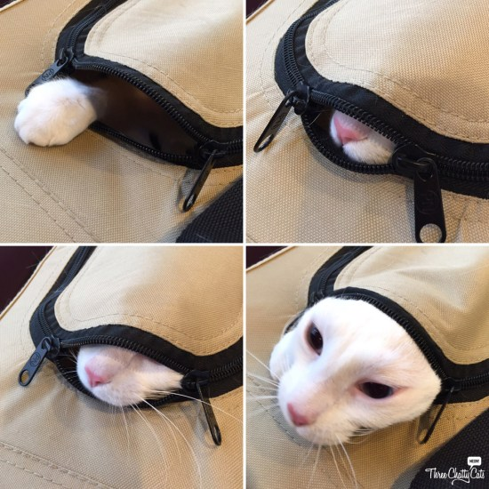 white cat in cat carrier