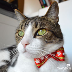 tabby cat with bow tie