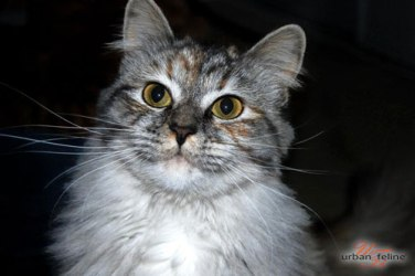 Urban Feline