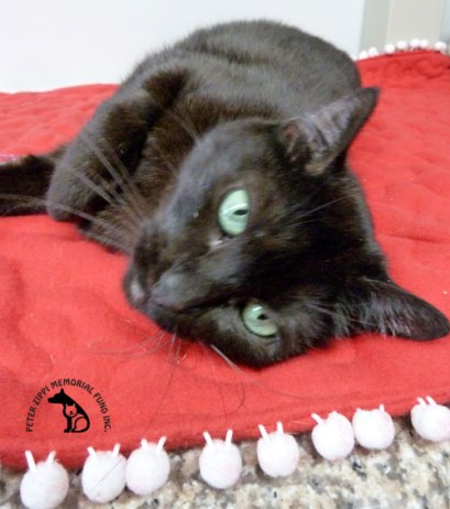 black cat laying on red blanket