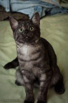 smoked tabby cat