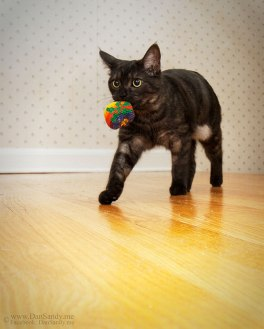 smoked tabby cat with toy in mouth