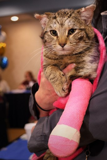 tabby cat with front leg in pink cast