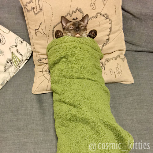Tonkinese cat wrapped in green blanket