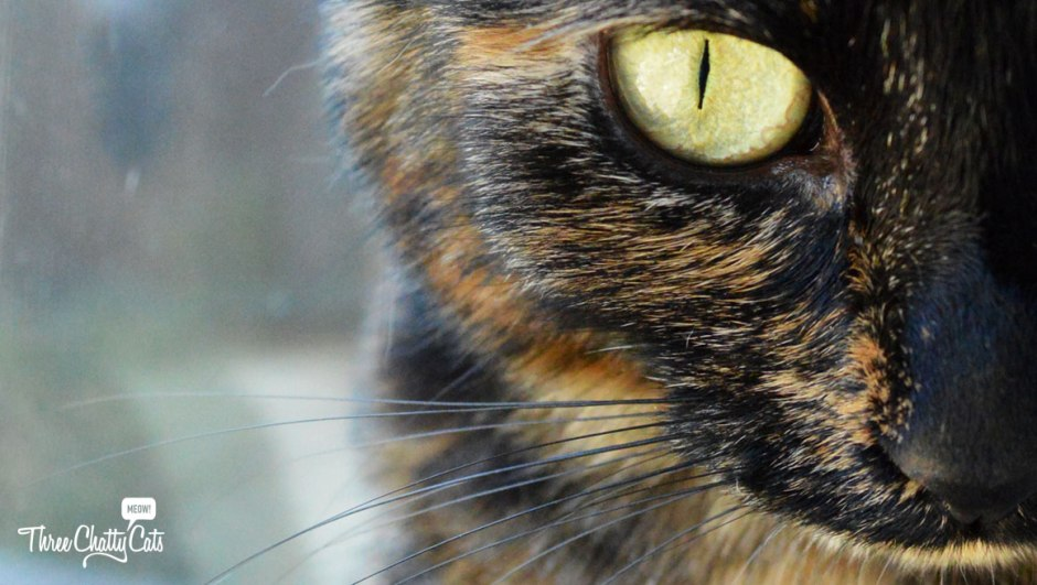 tortie cat