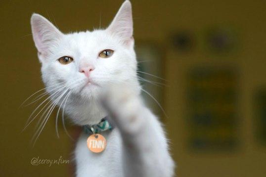 Finn, white cat