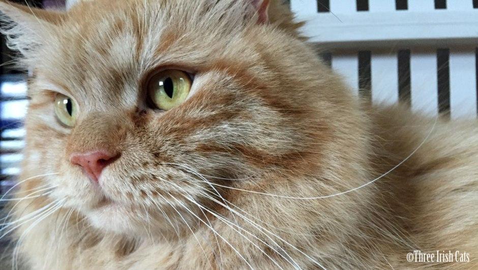 ginger tabby cat