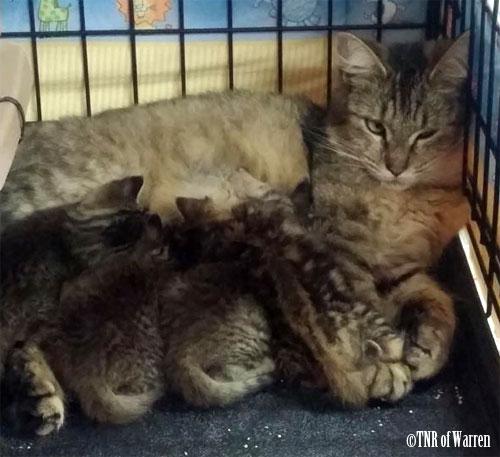TNR of Warren, momma cat and her kittens