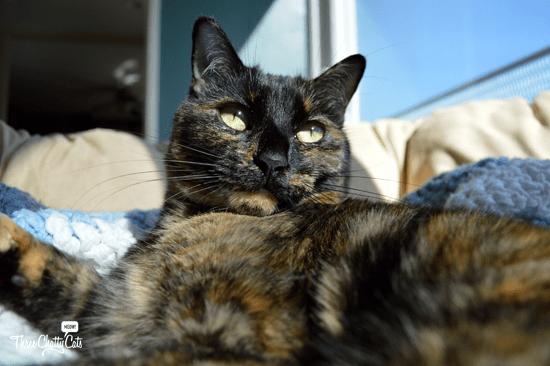 tortie cat in the sun