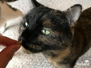 tortie cat sniffing treat