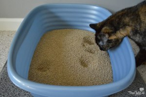tortie cat and litter box