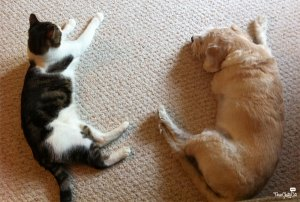 tabby cat and terrier lying together