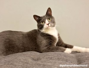 Packard, gray and white cat
