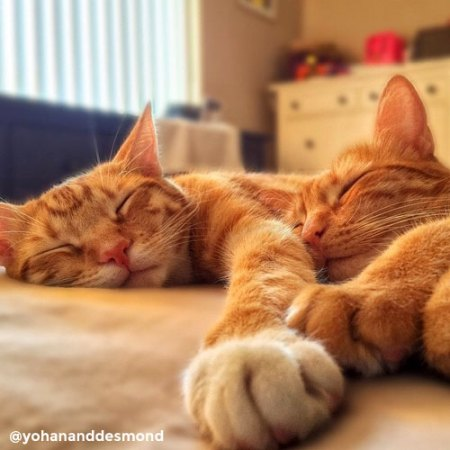 Yohan and Desmond, ginger cats