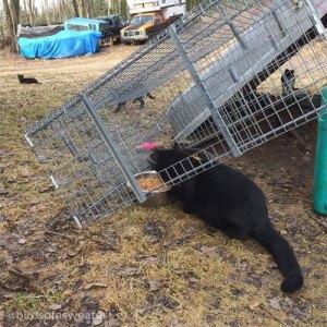 black cat feeding under TNR trap