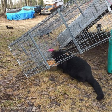 black cat feeding under TNR trap