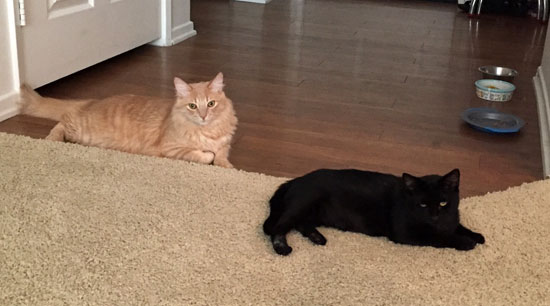 black cat and ginger cat