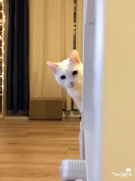 white cat peeking