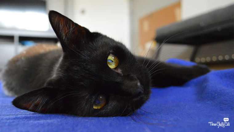Foster Cat Zest