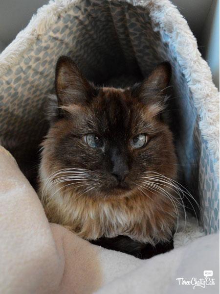 Himalayan mixed cat