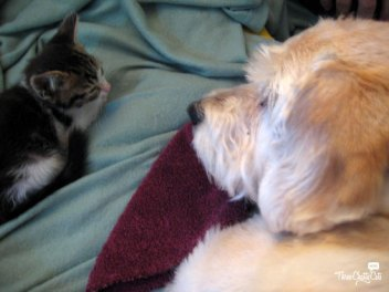 gray and white tabby kitten with terrier